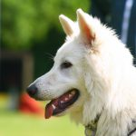 educateur canin bas rhin - berger blanc suisse