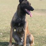 éducateur canin strasbourg_portrait berger belge malinois