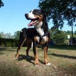 educateur canin alsace - bouvier d'appenzell