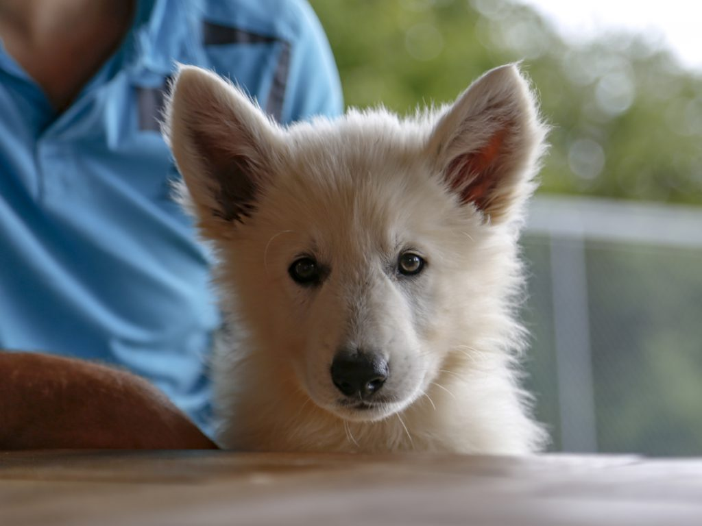 education canine strasbourg - chiot berger blanc suisse