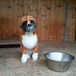educateur canin bas rhin - peluche boxer