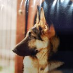 educateur canin strasbourg - chiot berger allemand