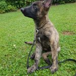 educateur canin strasbourg - chiot berger hollandais