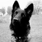 educateur canin bas rhin_portrait berger belge tervueren