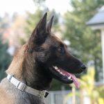 educateur canin Bas Rhin_berger belge malinois