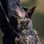 educateur canin alsace - bouvier australien obéissance