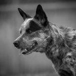 educateur canin strasbourg - bouvier australien