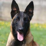 educateur canin strasbourg - malinois lignée travail