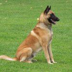 education canine 67 - exercice obéissance
