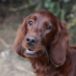 Educateur canin Alsace - setter irlandais