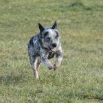 éducation canine_chien bouvier australien