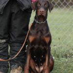 educateur canin strasbourg_doberman femelle