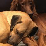 cours d'éducation canine_chiens setter et rhodesian ridgeback