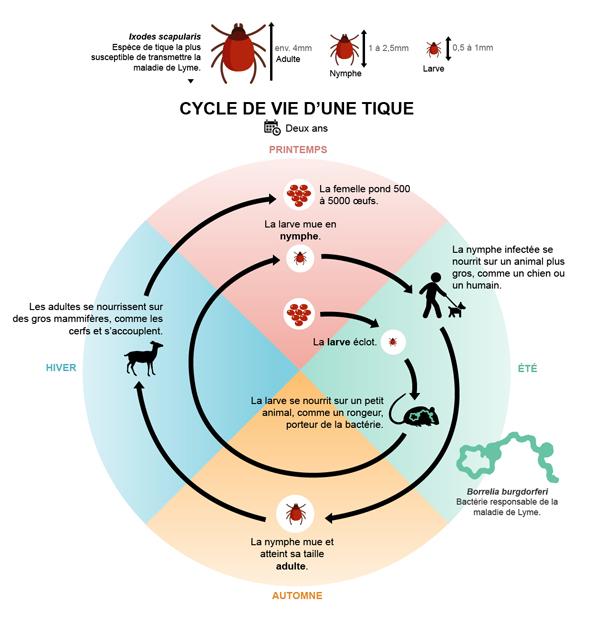 cycle de vie de la tique